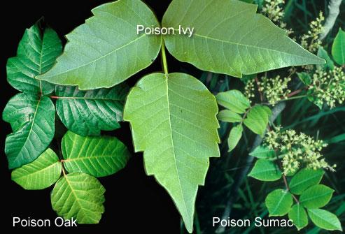 Poison Oak, Poison Ivy, & Poison Sumac